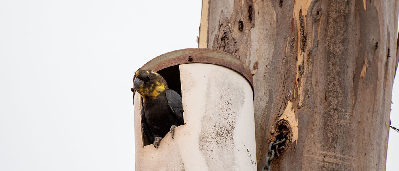 A Kangaroo Island glossy black-cockatoo in an artificial nest box © WWF-Aus / Paul Fahy