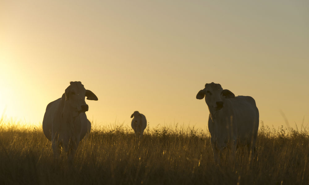 Brahman cross cattle grazing tropical pastures in North Queensland © WWF-Aus / Kerry Trapnell