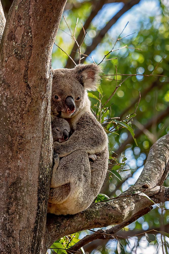 Australian Koala And Her Cute Joey ©WWF-Australia / Jackson Photography / stock.adobe.com