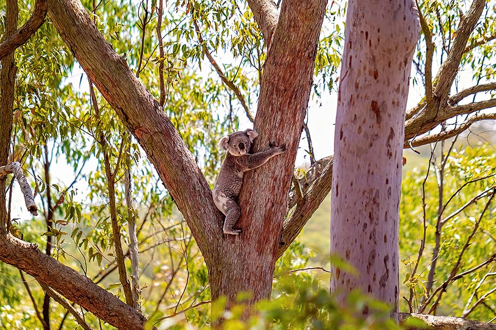 Australian Koala Hugging A Gum Tree ©Jackson Photography - stock.adobe.com