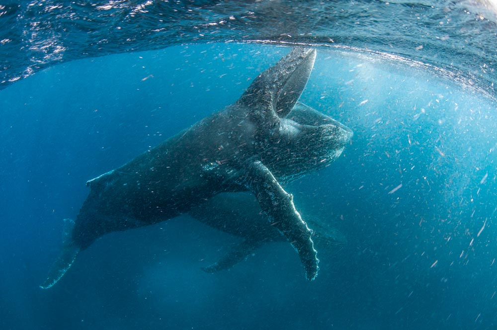 Humpback whale feeding off Cape Town © Copyright (C) Steve Benjamin/Silverback Films / Netflix
