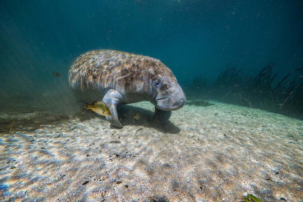 Manatee in the warm water of Florida © Jeff Hester/Silverback/Netflix