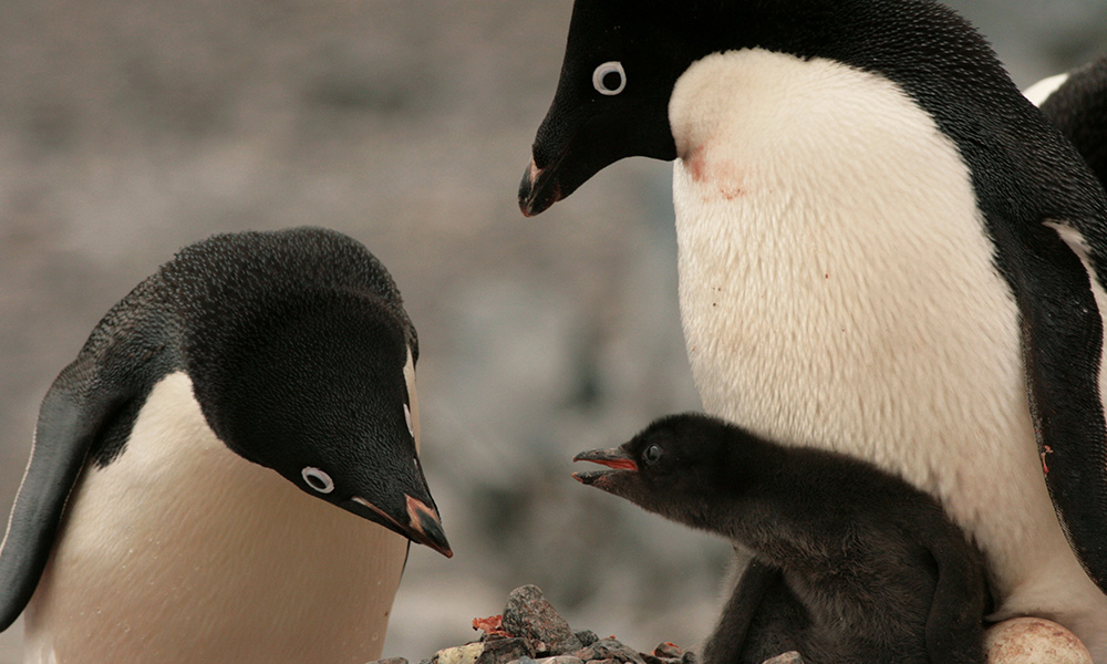Adelie penguins and chick (Pygoscelis adeliae) on Palmer Island Station in Antarctica © Greg & Kate Bourne / WWF-Aus