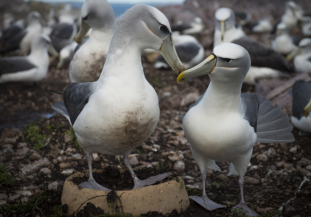 Pair of Shy Albatross with their new artificial nest, Albatross Island, June 2017.