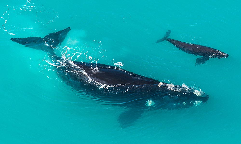Southern Right Whale (Eubalaena australis) mother and calf in shallow protected waters © Peter Chadwick / WWF