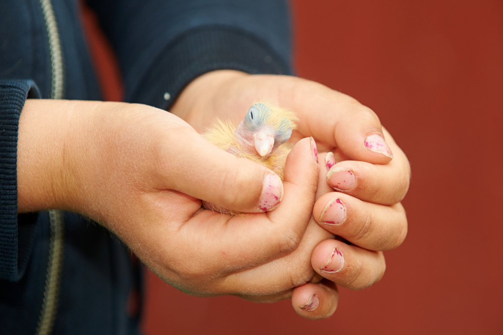Hands holding a baby pigeon chick © Ola Jennersten / WWF-Sweden