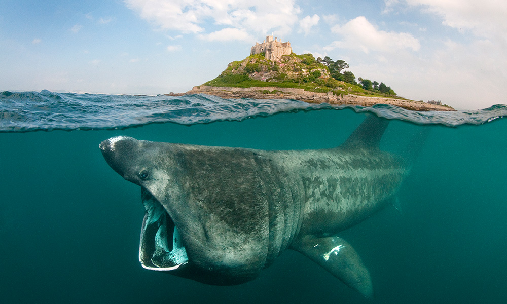 A split level digital composite showing a Basking shark (Ceterhinus maximus) feeding on plankton around Cornwall, United Kingdom © naturepl.com / Alex Mustard / WWF