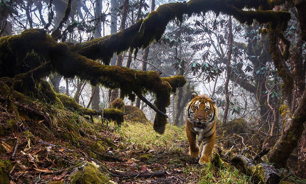 A Bengal tiger photographed by hidden sensor camera in wildlife Corridor Eight, Central Bhutan © Emmanuel Rondeau / WWF-UK
