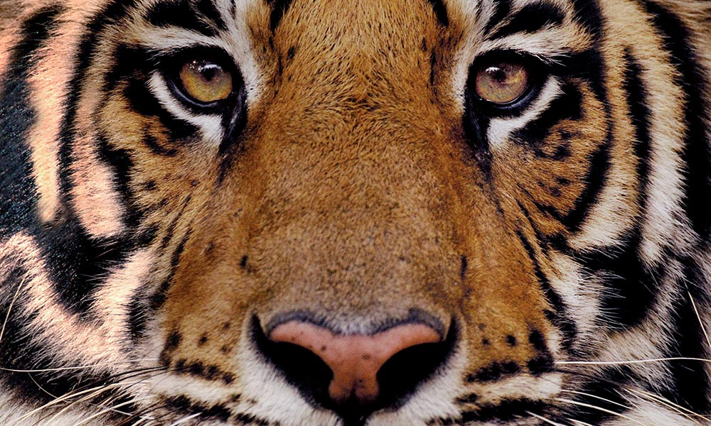Bengal tiger close-up © naturepl.com  / Andrew Parkinson / WWF