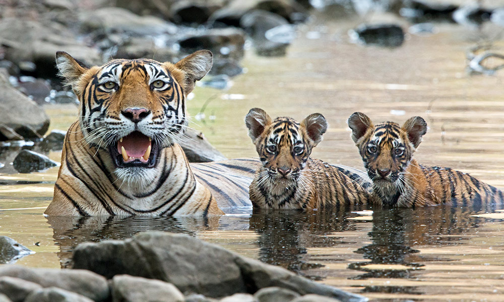 Bengal tiger (Panthera tigris tigris) female with cubs in water, Ranthambore National Park, India © naturepl.com / Andy Rouse / WWF