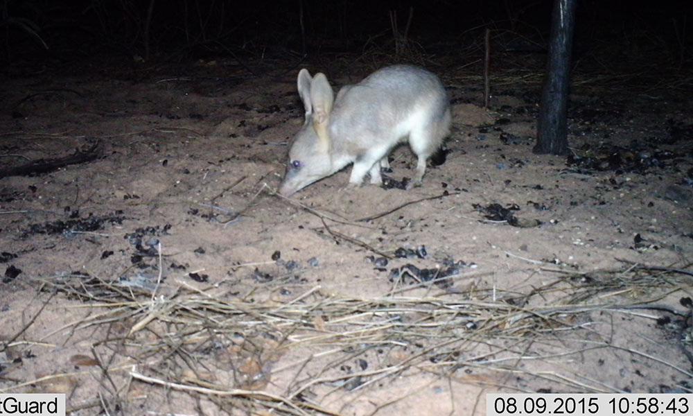 Bilby caught on sensor camera, Kimberley © Yawuru PBC / WWF-Aus