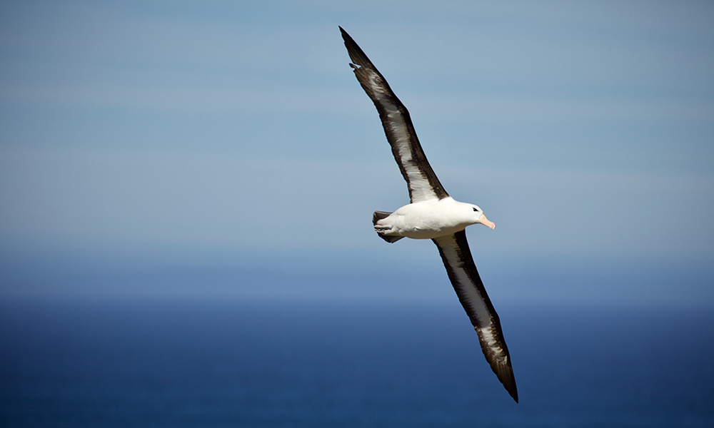 Black-browed albatross (Thalassarche melanophris) sails the winds near the Falkland Islands © WWF-Aus / Chris Johnson