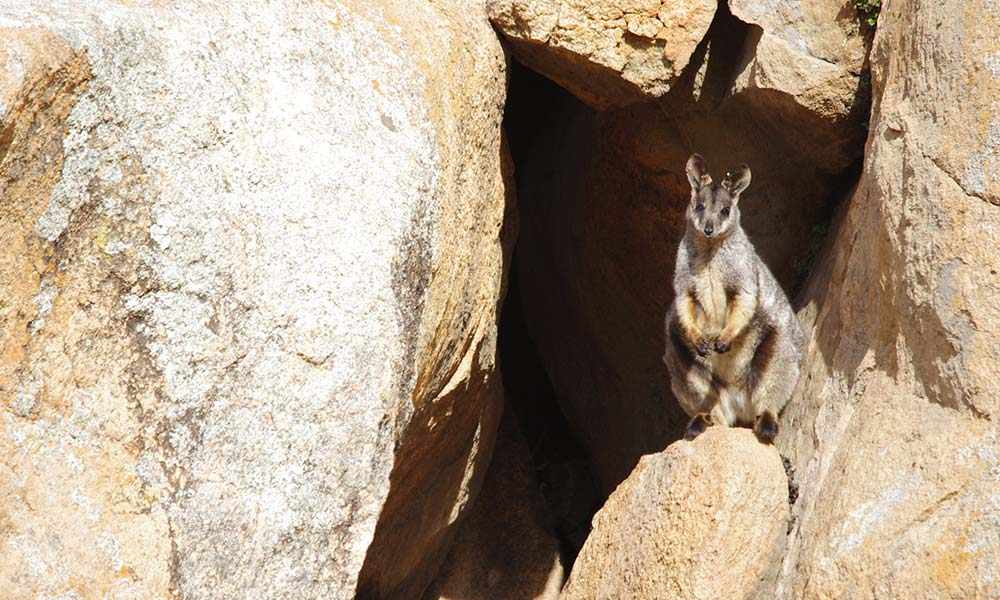 Black-flanked rock-wallaby, Central Wheatbelt © Phil Lewis and Mike Griffiths / WWF-Aus