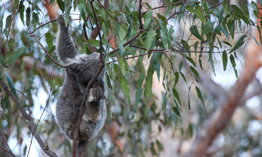 Blossom the koala (Phascolarctos cinereus) climbs an eucalyptus tree as her cute koala joey Petal clings to her back after being released into the wild at Campbelltown, NSW © WWF-Aus / Alex Weinress