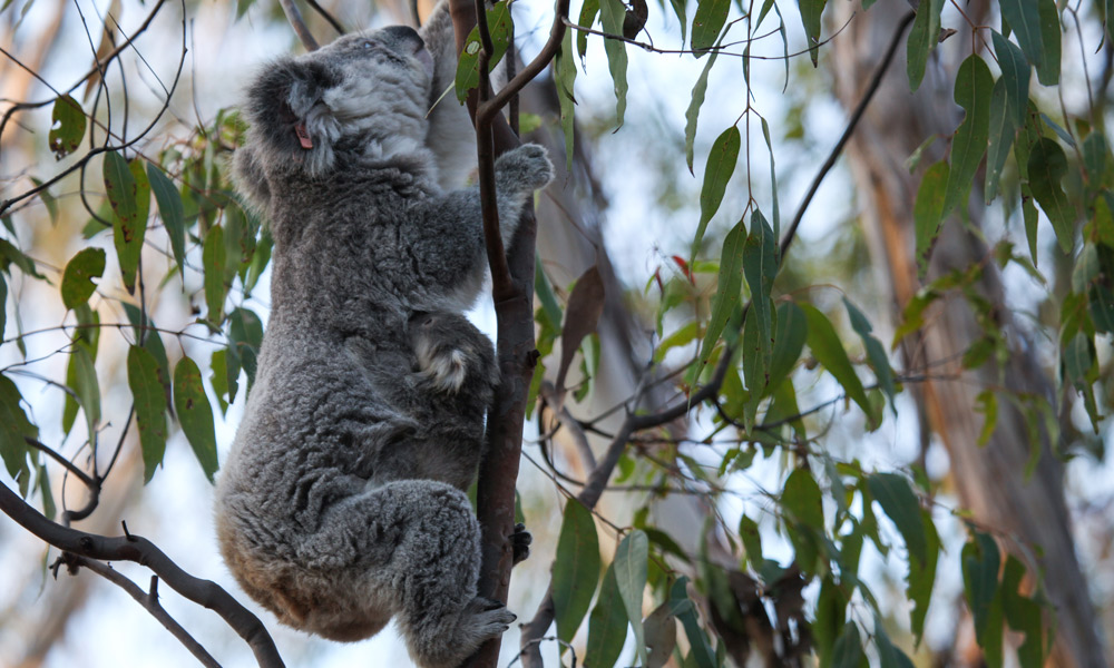 Blossom the koala (Phascolarctos cinereus) climbs a eucalyptus tree as her cute koala joey Petal clings to her after being released into the wild at Campbelltown, NSW © WWF-Aus / Alex Weinress