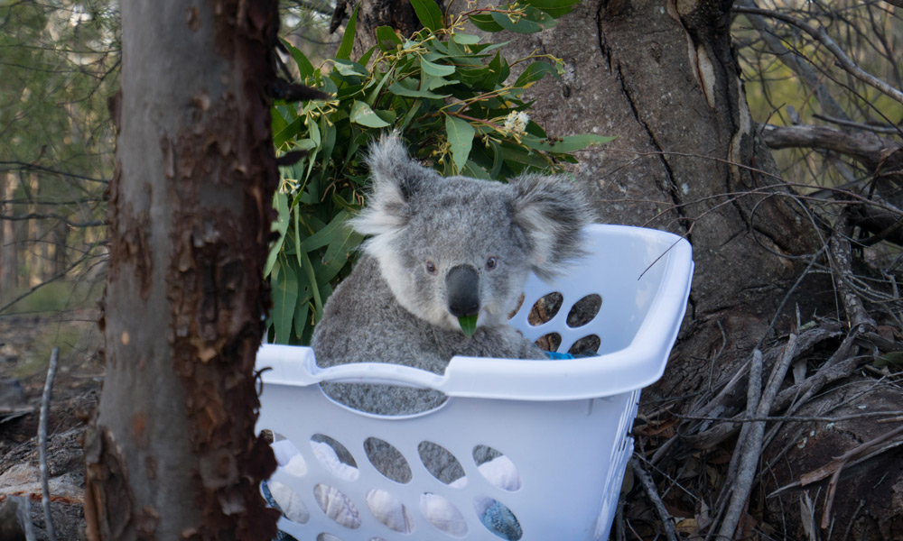 Blossom the koala (Phascolarctos cinereus) being released into the wild at Campbelltown, NSW © WWF-Aus / Leonie Sii
