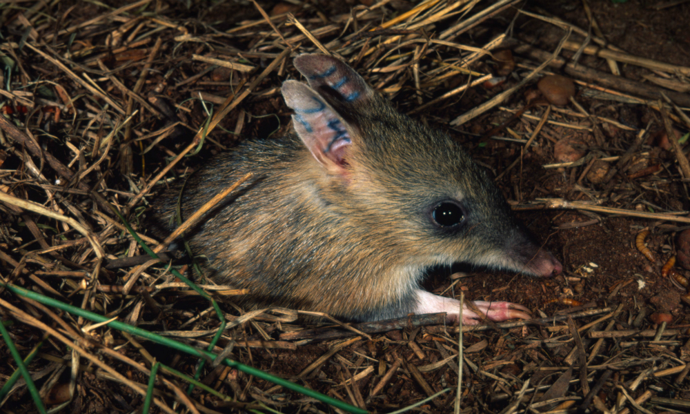 Eastern Barred Bandicoot © Martin Harvey / WWF