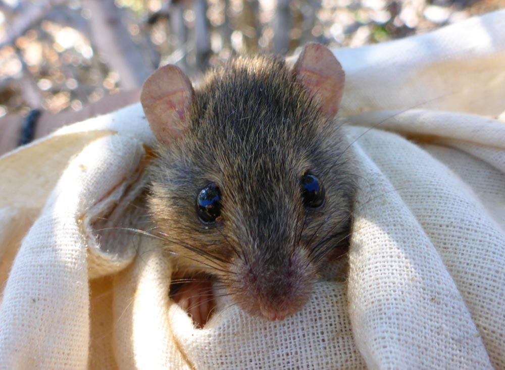 A melomys from the Torres Strait which gives an idea of the size of Bramble Cay melomys © Rebecca Diete and Luke Leung