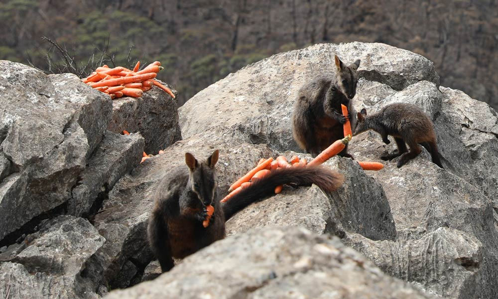 Brush-tail rock-wallabies eating carrots from aerial food drop © WWF-Australia / Veronica Joseph