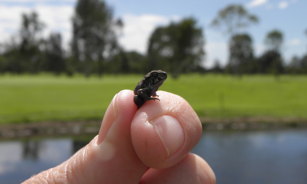 A tiny cane toad metamorph in hand © Sharon Lehman