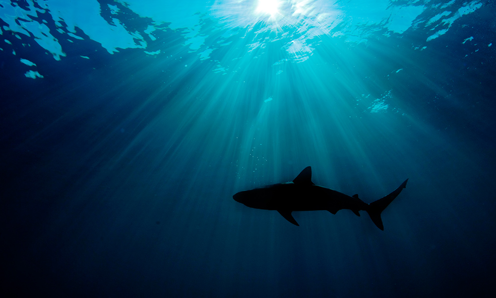 Caribbean reef shark (Carcharhinus perezi) silhouetted against the sun, Atlantic Ocean © naturepl.com / Alex Mustard / WWF