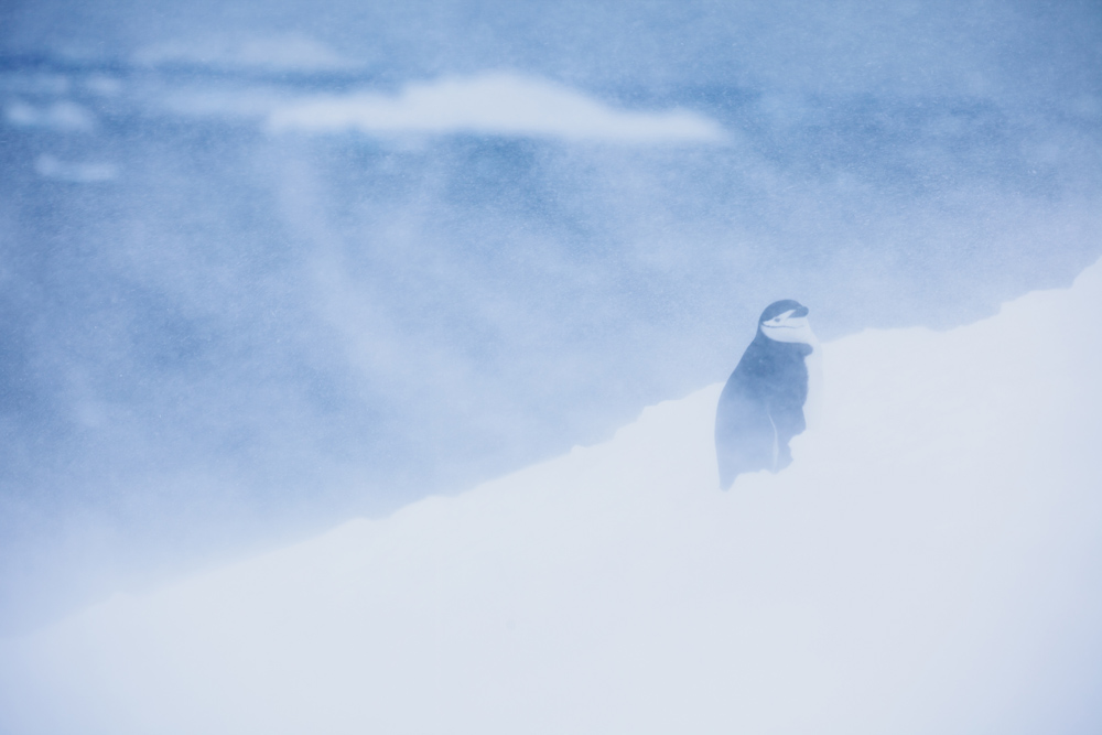 Chinstrap penguin (Pygoscelis antarcticus) braves high winds and a snowstorm, Antarctic Peninsula © Chris Johnson / WWF-Aus