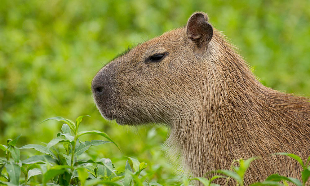 Capybara in the Llanos region of Colombia © Days Edge Productions / WWF-US