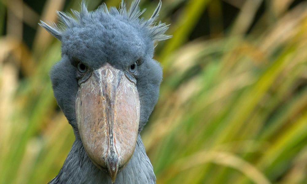 Shoebill or whale-headed stork © naturepl.com / Edwin Giesbers / WWF