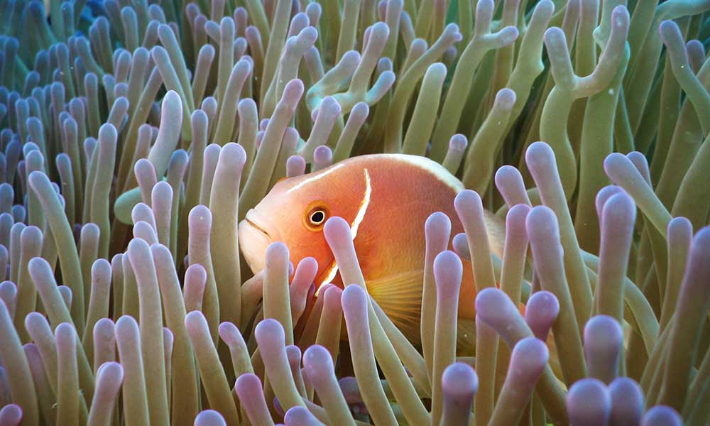Clown fish swimming in the Great Barrier Reef, Queensland, Australia © Shutterstock / Andrey Nosik / WWF