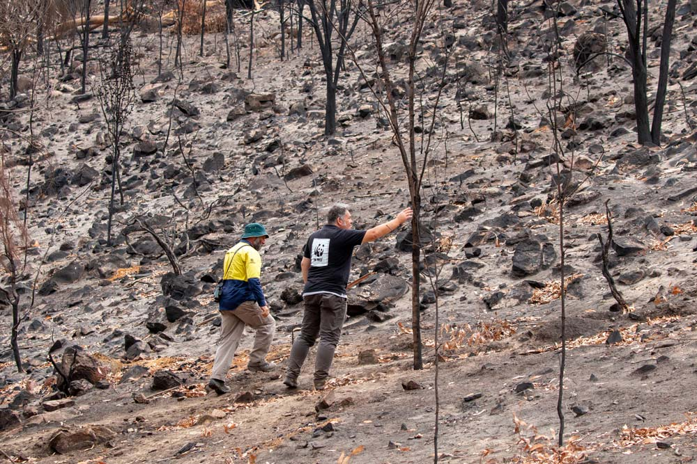 Darren Grover, Head of Healthy Land and Seascapes, WWF-Australia inspecting burnt trees on Kangaroo Island © WWF-Australia / Paul Fahy