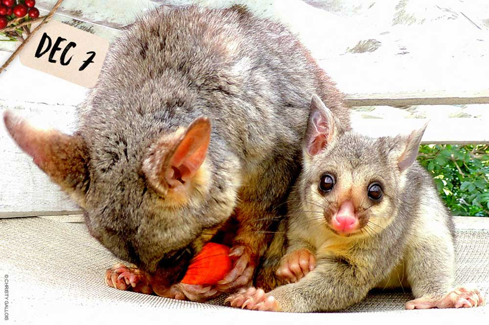 Possums © Christy Gallois