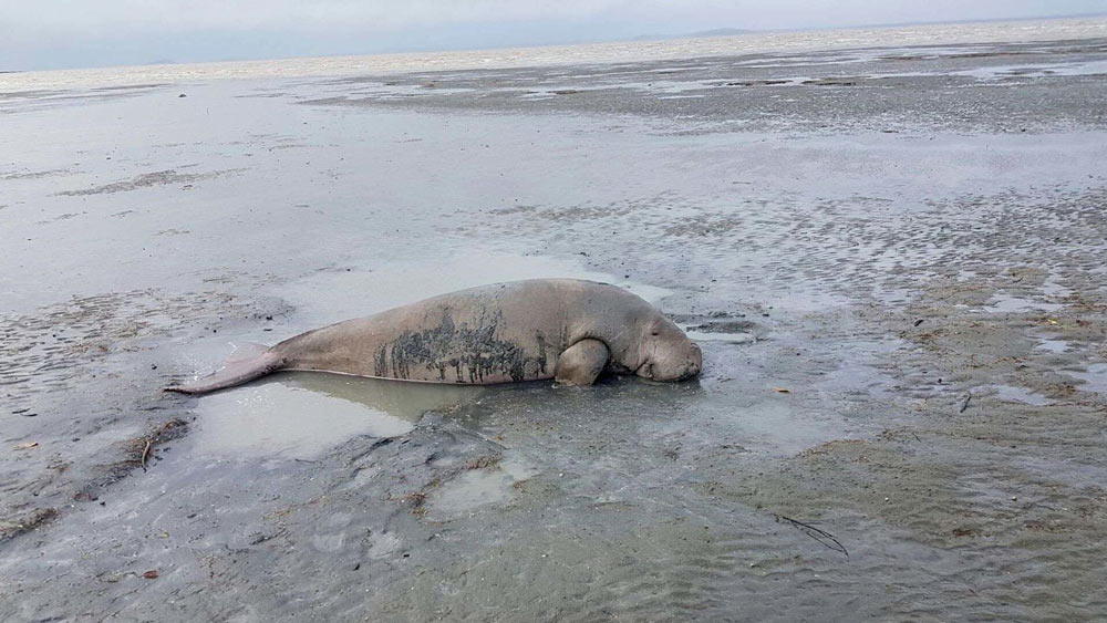 Dugong caught in gill net near Mackay, Queensland, April 2018