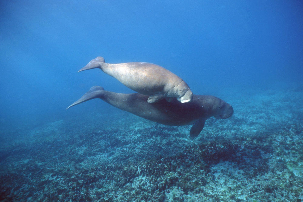 Dugong with calf swimming in Australia © naturepl.com / Doug Perrine / WWF