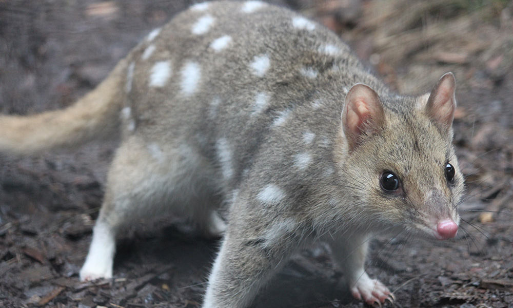 Eastern quoll at the Devils@Cradle conservation facility, Cradle Mountain, Tasmania © WWF-Aus / Madeleine Smitham