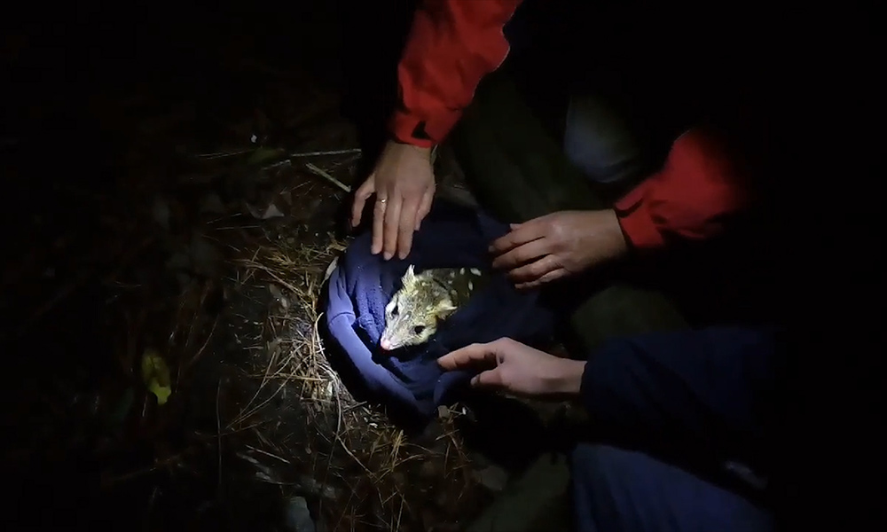 Eastern quoll being released back into the wild in Jervis Bay after a pouch check © Rewilding Australia Inc. / WWF-Aus