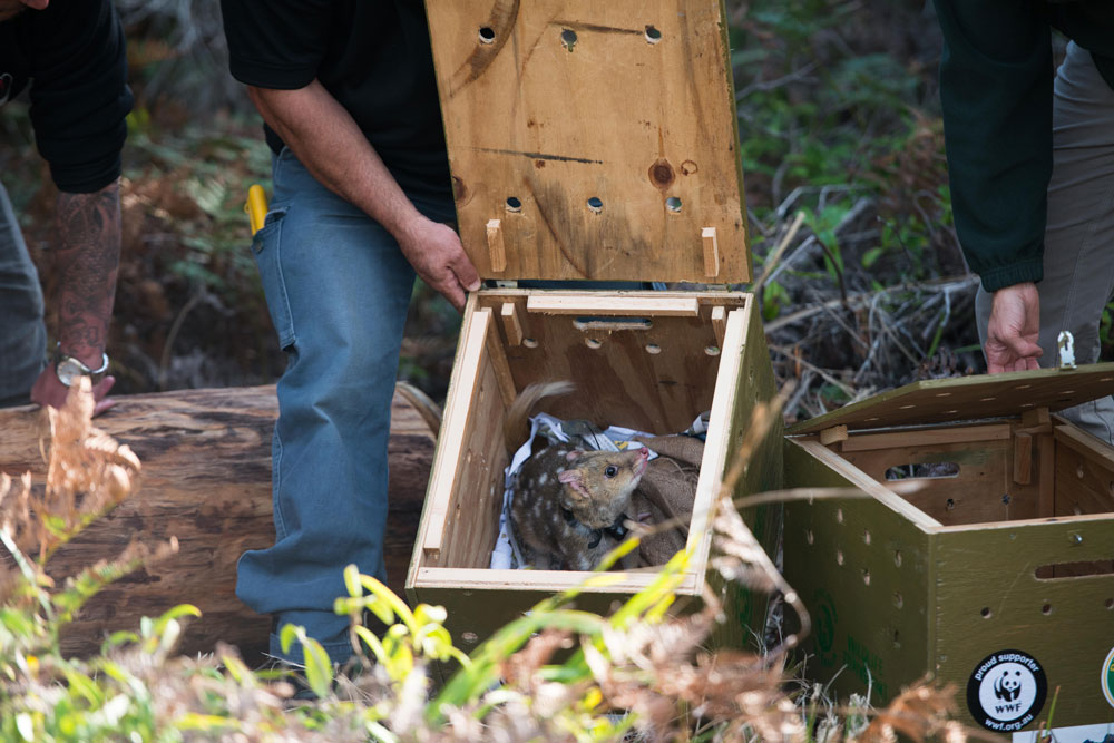 Eastern quoll released into the wild at Booderee National Park in Jervis Bay © WWF-Aus / Morgan Cardiff