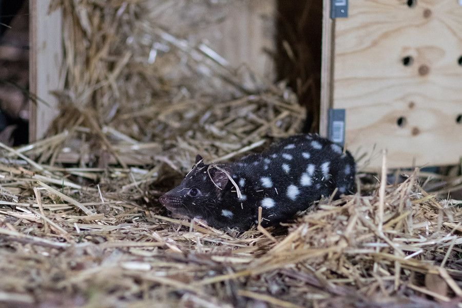 Eastern quoll released to the wild in Booderee National Park © WWF-Aus / Peter Dovga
