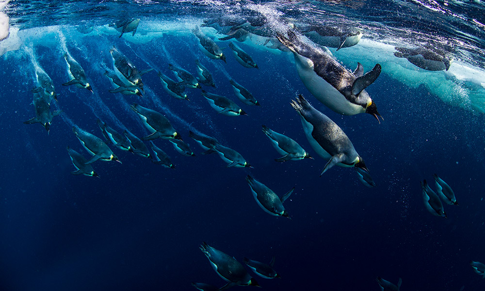 Emperor penguins (Aptenodytes forsteri) diving, Ross Sea, Antarctica © National Geographic Creative / Paul Nicklen / WWF