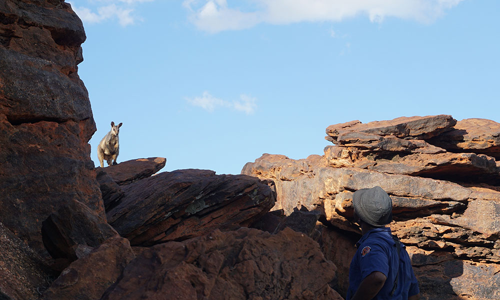 A ranger enjoying a close encounter with a wiliji (black-flanked rock-wallaby) in Erskine Range, west Kimberley © Jacqueline Batrus / Nyikina Mangala Rangers / WWF-Aus