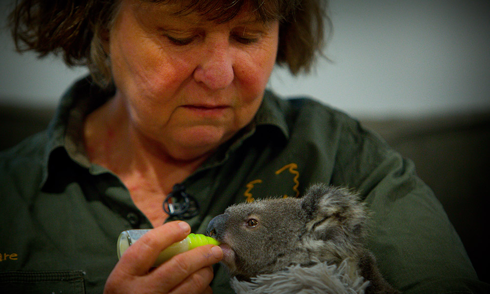 Orphan koala joey being fed, southeast Queensland, 2017 © WWF-Aus / Patrick Hamilton