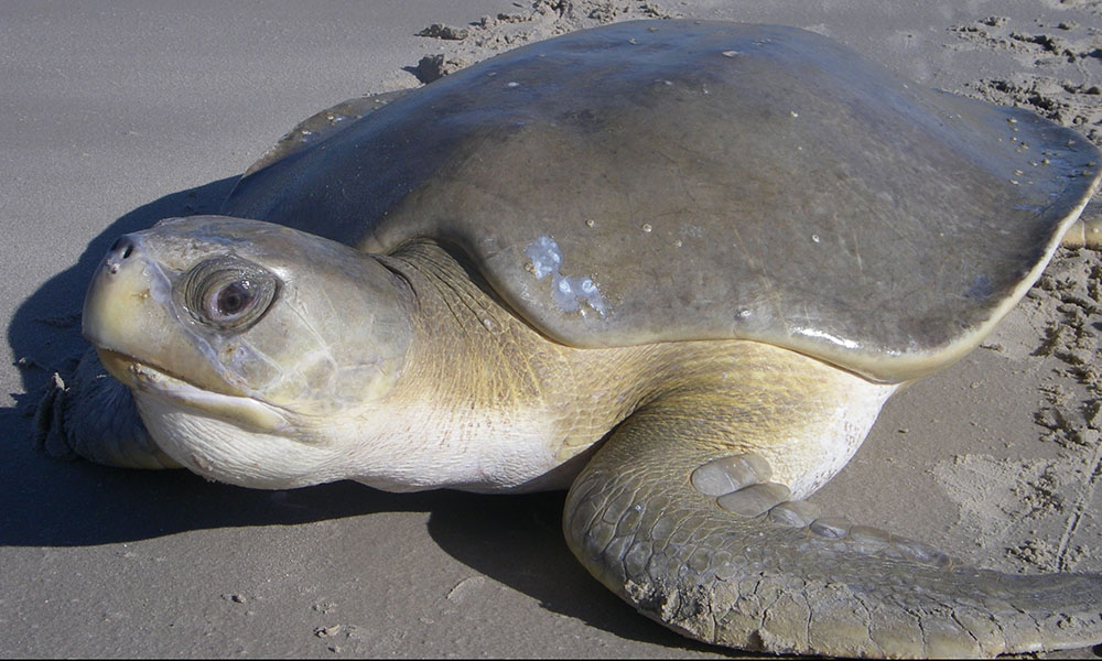 Unveiling the mystery of the Reef's flatback turtles