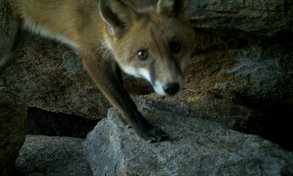 Fox caught on sensor camera in black-flanked rock-wallaby habitat, Central Wheatbelt © Mike Griffiths & Phil Lewis / DPaW / WWF-Aus