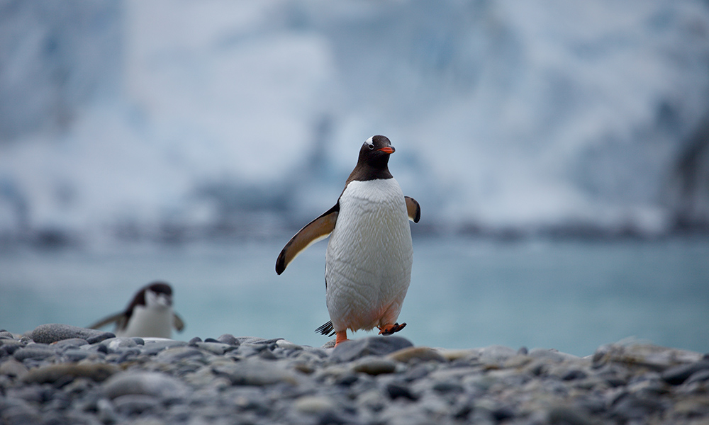 Gentoo penguin (Pygoscelis papua), Antarctic Peninsula, January 2018 © WWF-Aus / Chris Johnson