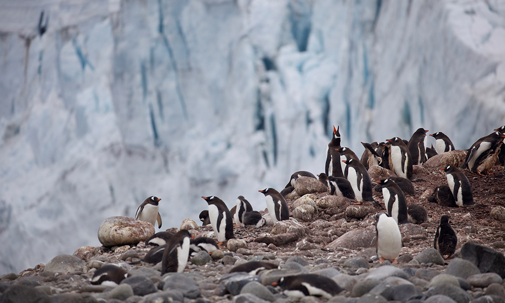 Gentoo penguin colony (Pygoscelis papua), Antarctic Peninsula, January 2018 © WWF-Aus / Chris Johnson