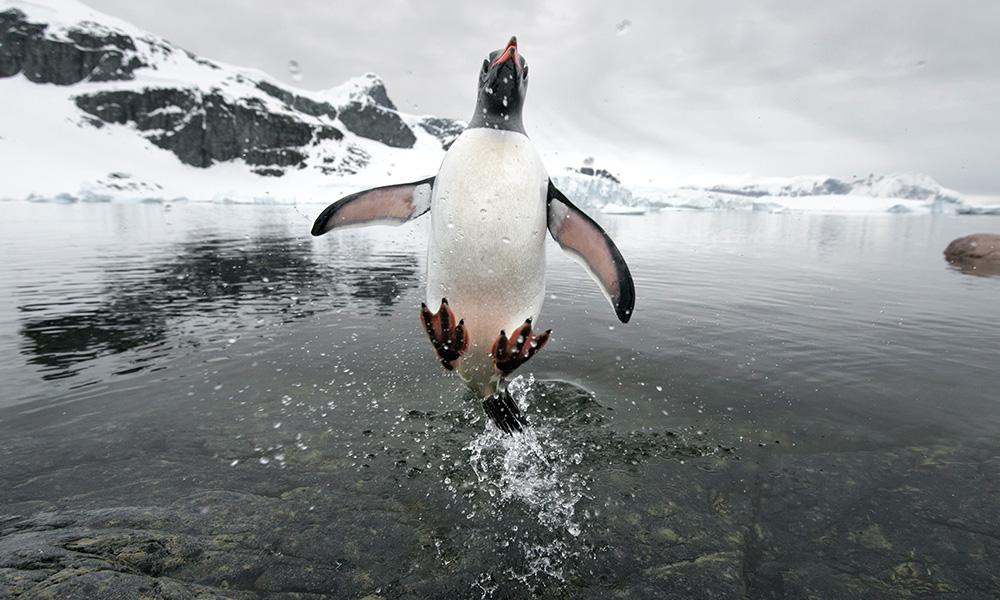 Gentoo penguin jumping out of the sea, Cuverville Island, Antarctica © naturepl.com / Ben Cranke / WWF