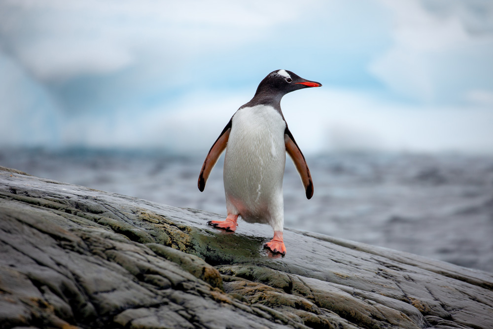 Portrait of a Gentoo penguin (Pygoscelis papua), Antarctic Peninsula  © Chris Johnson / WWF-Aus
