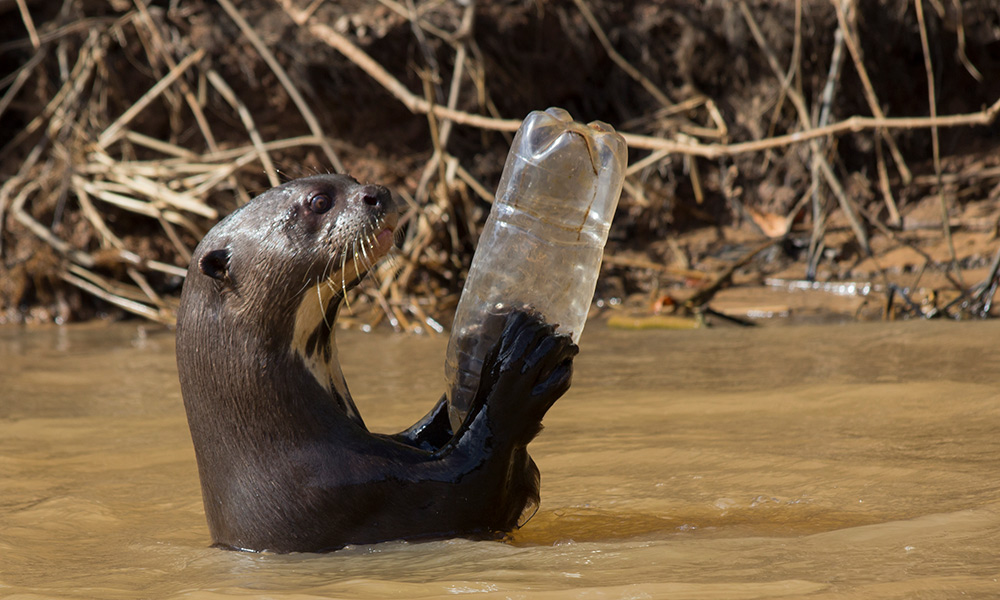 Giant otter (Pteronura brasiliensis) adult playing with plastic bottle, Pantanal, Pocone, Brazil © naturepl.com / Paul Williams / WWF