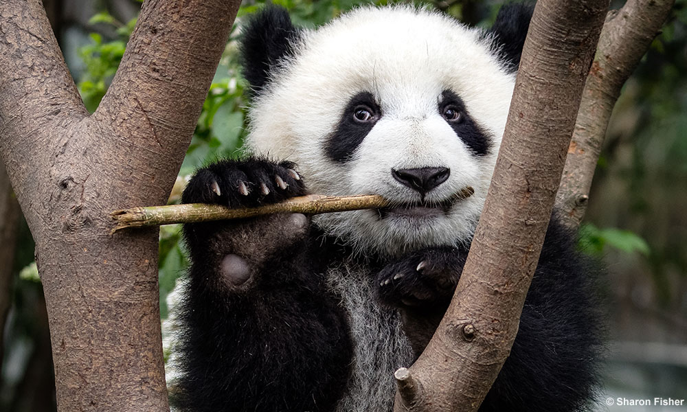 Giant panda eating at the Chengdu Research Base of Giant Panda Breeding © Sharon Fisher