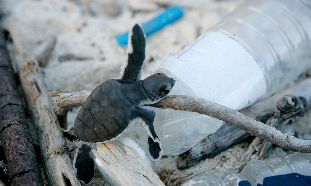 Green turtle hatchling climbing over plastic bottle strewn on the beach,  Juani Island, Tanzania © Brent Stirton / Getty Images / WWF-UK