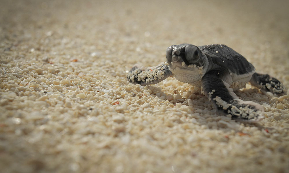 A group of turtle hatchlings make their way to the sea © naturepl.com / Solvin Zankl / WWF